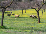 Schafe am Gardasee